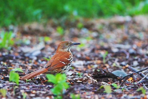 Thrushes and Mimids